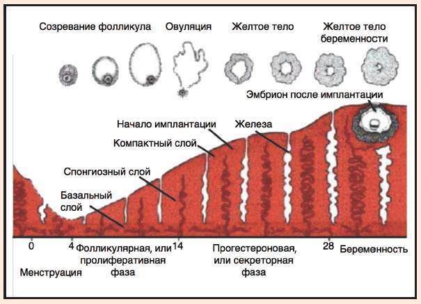 Тик-так ходики…  взгляд изнутри. подсчёт антральных фолликулов. afc.  овариальный резерв.