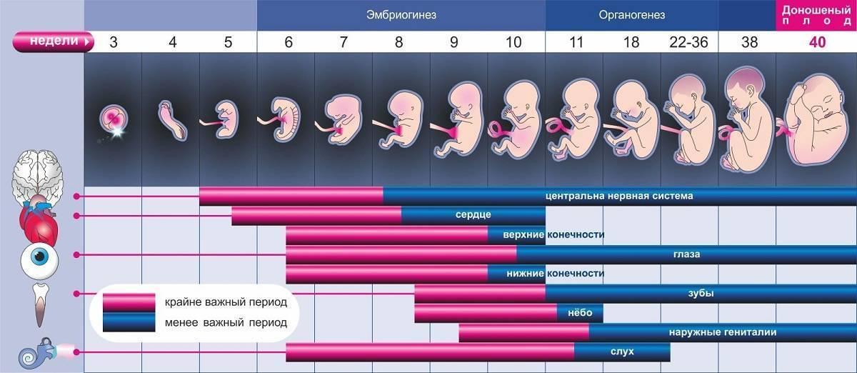 Сколько недель длится беременность у женщин?