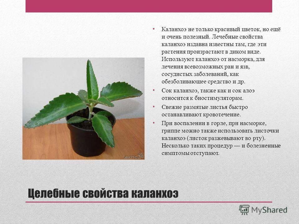 Лечебные свойства каланхоэ при лечении от насморка, как принимать - мурманская городская поликлиника № 5