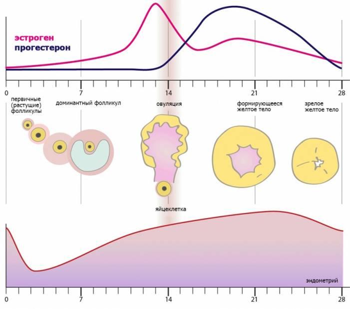 Как созревают яйцеклетки