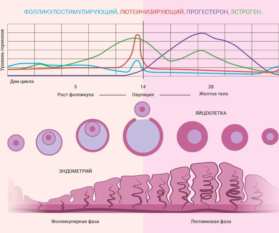 Размер фолликула при овуляции: физиология, размеры, наиболее частые вопросы | pro-md.ru
