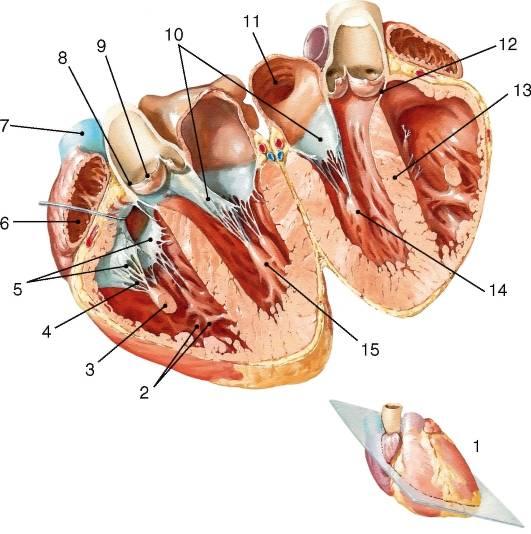 Гипертрофия левого желудочка - признаки, причины, симптомы, лечение и профилактика - idoctor.kz