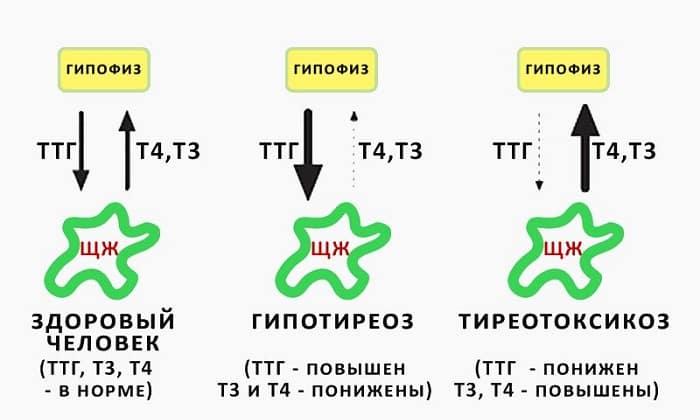 Все о ттг (тиреотропном гормоне) - доказательная медицина для всех
