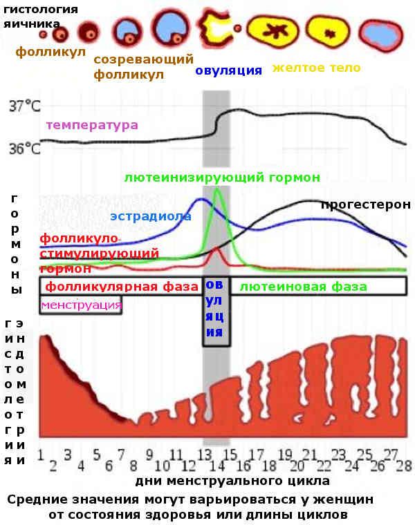 Отсутствие овуляции (ановуляторный цикл) – как разбудить заснувшие яйцеклетки