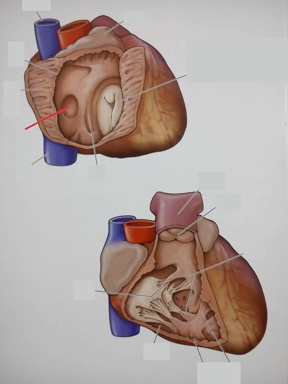 ᐈ гипертрофия левого желудочка: симптомы и диагностика ~【киев】