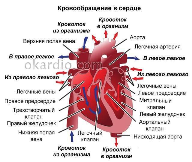 Дополнительная хорда левого желудочка: причины, симптомы, осложнения и лечение