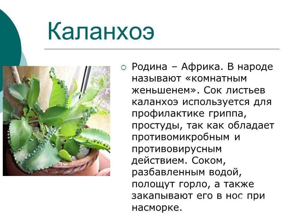Каланхоэ для детей (в том числе грудных): лечение насморка, кашля, рецепты лекарств с соком растения и прочие аспекты.