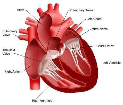 Дополнительная хорда сердца у ребенка — причины, симптомы, диагностика и лечение