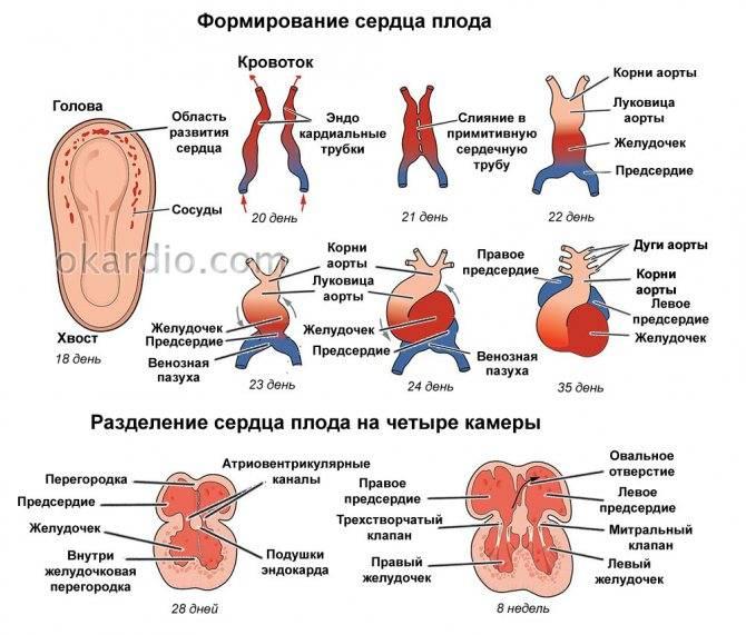 Анэмбриония или почему не видно эмбриона на узи - статья репродуктивного центра «за рождение»