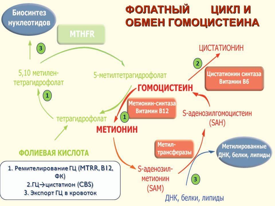 Предрасположенность к повышенному уровню гомоцистеина: исследования в лаборатории kdlmed