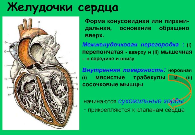 Некомпактный миокард