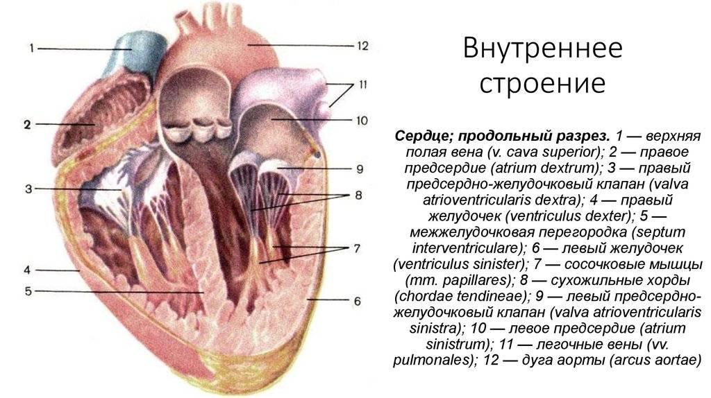 Трабекула в левом желудочке (ДТЛЖ сердца) у ребенка