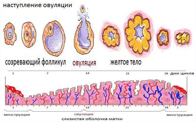 Желтое тело яичника и его размеры
