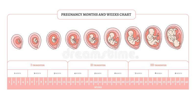 Триместры беременности по неделям: когда начинается и заканчивается каждый триместр?