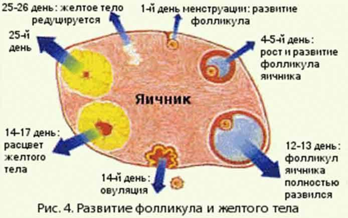 Желтое тело на узи обследовании яичников: характеристики, показатели и нюансы диагностики