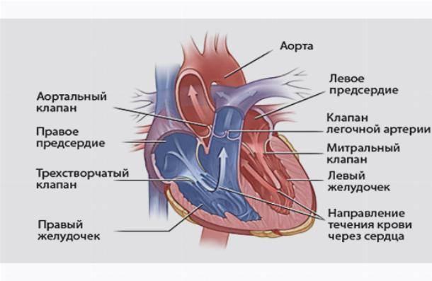 Шум в сердце у ребенка, причины, фальшхорда, пролапс митрального клапана