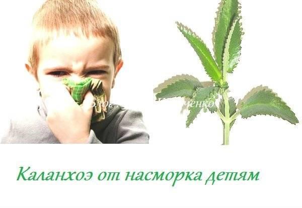 Каланхоэ от насморка в нос — лечебные свойства