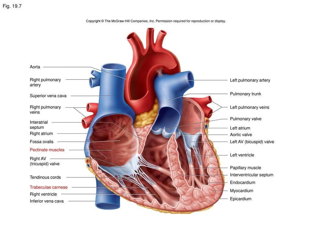 Малые аномалии развития сердца